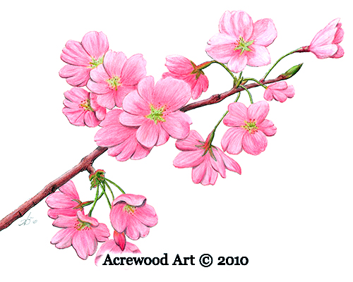 Cherry Blossoms As A Symbol For Fibromyalgia Fibromyalgia Coach